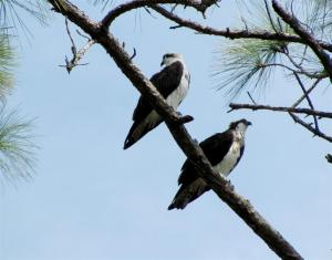 Ospreys on Honeymoon Island
