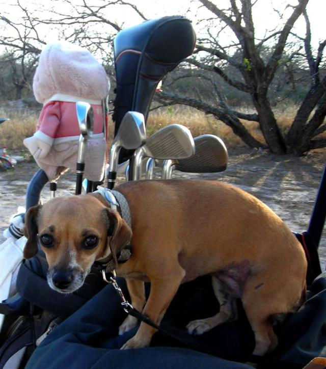 Golf Cart Dog
