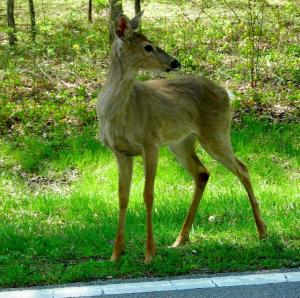 Deer are Everywhere