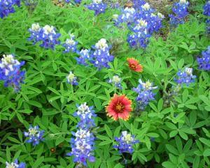 Bluebonnets and Firewheels