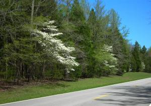 One of the Thousands of Natchez Trace Dogwoods