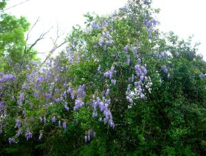Wisteria Were Magnificent