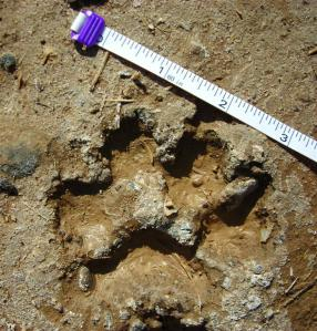 Cougar Cub Print (We did not see Mom!)