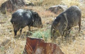 Javolinas at Chisos Basin Big Bend National Park, TX