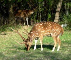 Deer at Fort Clark, Texas